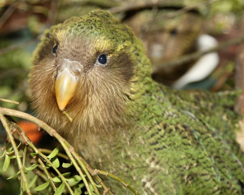 El Kakapoo. El pajaro idiota